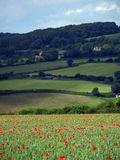 Red Field Poppies Stock Photos
