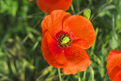 Red field poppies grow in the green grass,  morning Stock Images