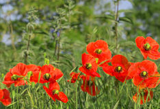 Red field poppies grow in the green grass,  morning Royalty Free Stock Image