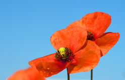 Red field poppies grow in the green grass,  morning Royalty Free Stock Photography