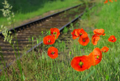 Red field poppies grow in the green grass,  morning Royalty Free Stock Photos