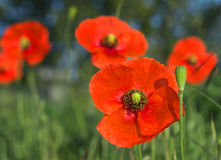 Red field poppies grow in the green grass,  morning Stock Photo