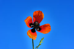 Red field poppies grow in the green grass,  morning. Red field poppies grow in the green grass, summer morning Stock Image