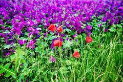 Red field poppies and field of purple flowers Stock Images