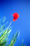 Red Field Poppy Royalty Free Stock Photos