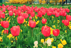 Red field of tulips Royalty Free Stock Image