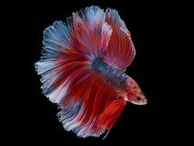 Red fighting fish on black background with clipping path. Fighting fish with white and red color swimming Royalty Free Stock Photo