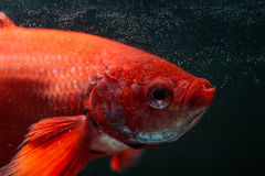 RED FIGHTING FISH. Capture move monent of red fighting figh Royalty Free Stock Photo