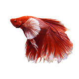 Red fighting fish Stock Images
