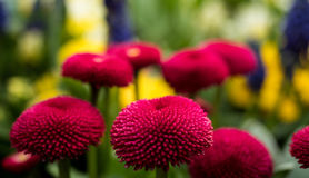 Red and filled cultivated daisies in a garden. stock image