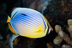 Red-fin Butterfly-fish, Maldives Stock Image