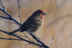 Red Finch Royalty Free Stock Photography