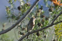 Red Finch on Branch. Red finch sitting on a branch in San Diego California Stock Photo
