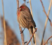 Red Finch on a large reed royalty free stock image