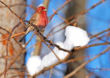 Red Finch Stock Image