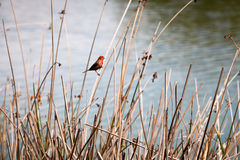 Red Finch on Reeds Stock Photo