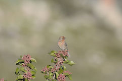 Red Finch on Sumac. Red finch sitting on a sumac bush in San Diego California Royalty Free Stock Photo
