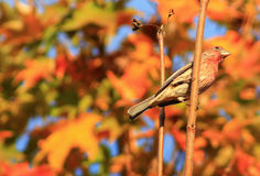 Red Finch on tree Royalty Free Stock Images