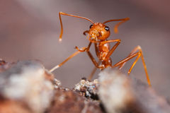 Red fire ant Royalty Free Stock Photos