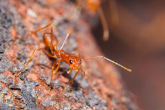 Red fire ant Royalty Free Stock Images