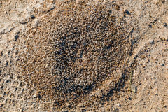 Red Fire Ant Hill. Outside of nest Stock Image