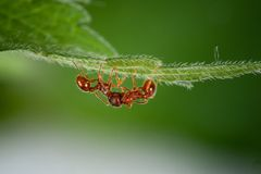 Red fire ant royalty free stock photography