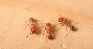 Red Fire Ants Royalty Free Stock Images