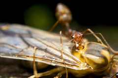Red fire ants Stock Photo