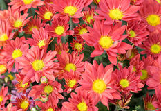 Red Fire Chrysanthemum Stock Images