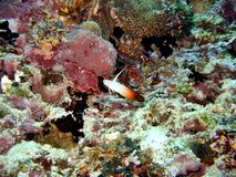 Red Fire Goby Royalty Free Stock Photography