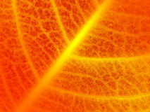 Red fire leaf veins closeup Stock Image