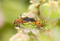 Red firebug breeding Stock Photo
