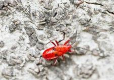 Red firebug. Walking on green plant Stock Photos