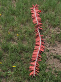 Red firecrackers put on grass.  Royalty Free Stock Photography