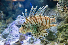 Red firefish - Pterois volitans Royalty Free Stock Image