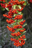 Red firethorn (pyracantha) fruits Royalty Free Stock Image