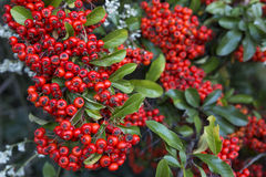 Red firethorn (pyracantha) fruits Stock Photos