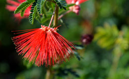 Red Firework Flower. In the foreground is an amazing flower with long plumage like spikes of vivid red with a backdrop of additional red flowers with the royalty free stock photography