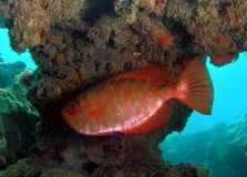 Red Fish. Under some coral in 18 feet of ocean stock images