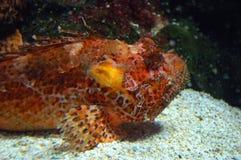 Red fish. Scorfano Rosso (Scorpena scrofa), Genoa aquarium, Italy Royalty Free Stock Images