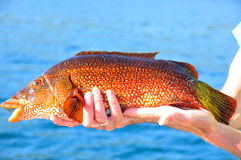 Red Fish Royalty Free Stock Photo
