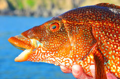 Red Fish Stock Photos