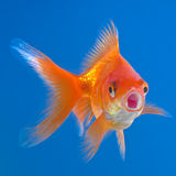 Red fish Royalty Free Stock Image