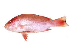 Red fish. Snapper red fish isolated on white background Stock Photos