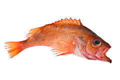 Red Fish. Rascasse in action Stock Image