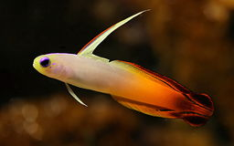 Red goby Fish. A red tropical fish in an aquarium Stock Image
