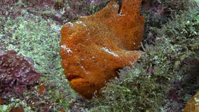 Red Fish Angler Anglerfish Hunt on rocky reef. Red Fish Angler Anglerfish Hunt on rocky reef and search food, Caribbean sea Cocos Costa Rica. Underwater stock footage