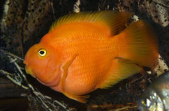 Red fish in the aquarium Royalty Free Stock Images