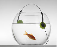 Red fish in an aquarium who listens to music. Red fish in an aquarium on a white background, who listens to music Stock Photos
