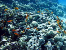 Red fish and coral reef Stock Photos